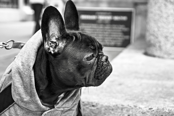 French-Bulldog-From-Gratisography