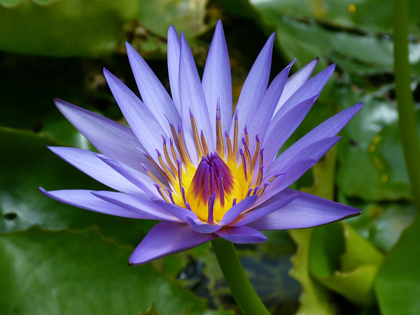 Water-Lily-From-Pixabay